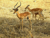 Antelope Impala wild animal — Stock Photo
