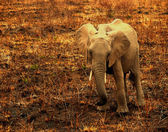 African elephant in Tanzania — Stock Photo