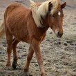 Icelandic horse strong hardy animal — Foto de stock #25395969