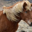 Icelandic horse strong hardy animal — Foto de stock #25395995