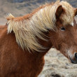Stock Photo: Icelandic horse strong hardy animal