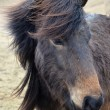 Icelandic horse strong hardy animal - Stock Photo