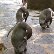 Penguin wild animal in the ZOO Prag — Stock Photo #26364589