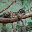 Clouded leopard in the ZOO Prag — Stock Photo