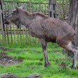 Stock Photo: Reindeer in ZOO Prague