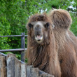 Camel in ZOO Prague — Stock Photo