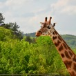 Stock Photo: Rothschild giraffe
