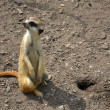 Stock Photo: Meerkat in ZOO