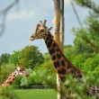 Stock Photo: Rothschild giraffe in ZOO Prague