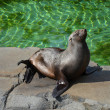 Sea lions in the ZOO Prague — Stock Photo