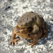 Toad frog amphibian — Stock Photo