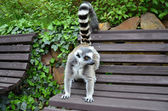 Lemur catta primate in captive — Stock Photo
