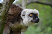 Bald lemur in the ZOO Prag — Stock Photo