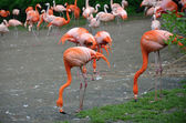Flamingo in the ZOO Prag — Stock Photo