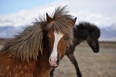 Icelandic horse strong hardy animal — Stock Photo