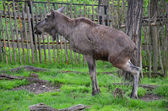 Reindeer in the ZOO Prague — Stock Photo