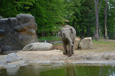 Elephant in captivity at a ZOO Prague — Stock Photo