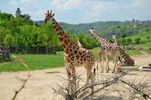 Rothschild giraffe — Stock Photo