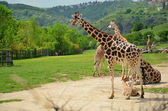 Rothschild giraffe in the ZOO Prague — Stock Photo