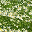 Chamomile roman herbaceous — Stock Photo