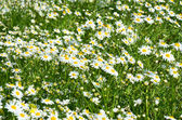 Chamomile roman herbaceous — Stock Photo