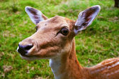 The European fallow deer female detail — Stock Photo