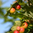 Постер, плакат: Cynips quercusfolii red balls on the tree of oak
