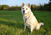 White dog Akita Inu japanese breed — Stock Photo