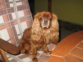 Cavalier King Charles Spaniel pet on the chair — Stock fotografie