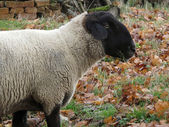 English breed of sheep suffolk sheep — Stock Photo