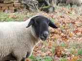 Anglais race de moutons suffolk mouton — Photo