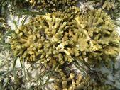 Hard sea corals marine life in Indian ocean Maledives — Stock Photo