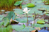 White lotos water flower on lake — Photo