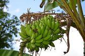 Bunch of bananas on the tree — Stock Photo