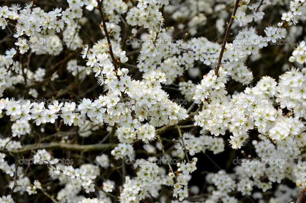 куст цветущий в мае белым цветом