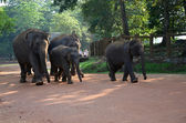 Elephants in Pinnawala orphanage in Sri Lanka — Stock Photo
