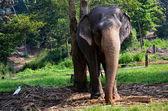 Elephants in Pinnawala orphanage in Sri Lanka — Stock Photo