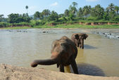 Elephants bathing in the river Ma Oya in Sri Lanka Pinnawala — Stock Photo