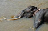 Big and black Elephant bathing in the river Ma Oya in Sri Lanka Pinnawala — Stock Photo