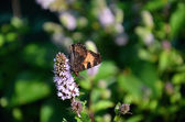 Camberwell butterfly with colorful wings — Stock Photo