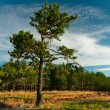Lonely tree at forest outskirts — Stock Photo