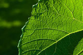 Grape leaf textured part front — Stock Photo