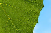 Grape leaf textured part back — Foto Stock