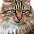 Looking cat portrait front view — Stock Photo