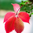 Five red leafs on branch - Stock Photo