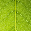 Leaf veins branched network photosynthesis spring green leaf surface macro texture — Stock fotografie