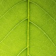Leaf veins branched network photosynthesis spring green leaf surface macro texture — Foto Stock