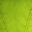 Leaf veins branched network photosynthesis spring green leaf surface macro texture - Stock Photo