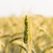 Ear of corn field wheat field wheat grain rye field crop seed rye bread healthy farming — Stock Photo