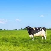 Fazenda de gado de leite de leite de vaca careta campo de grama do prado preto natureza paisagem — Fotografia Stock